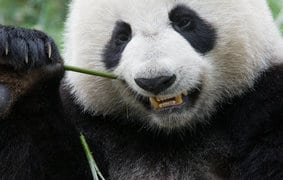 Panda Update in Deutschland