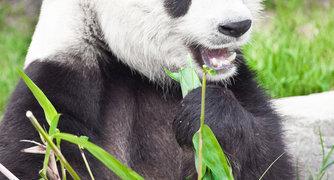Wie kommt man aus Panda heraus?