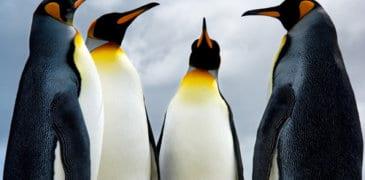 Pinguin 2.0 ist weltweit live gegangen
