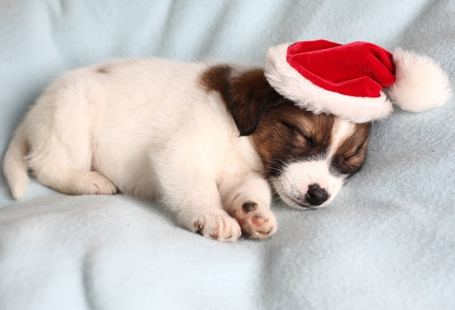 hundewelpe mit Weihnachtsmütze