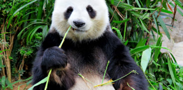 Der sensible Panda 4.0