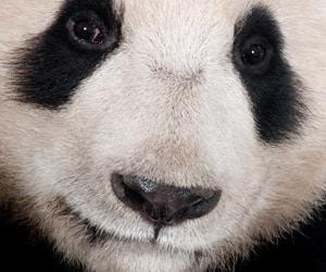 der panda steckt im detail