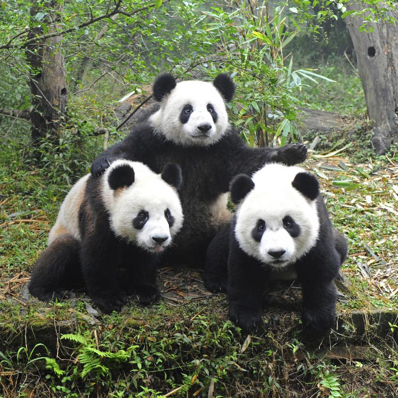 panda-gruppe