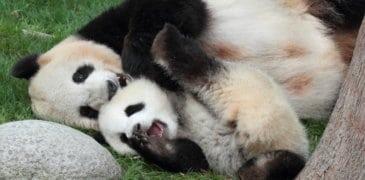 Google Panda 4.2 rollt aus – über Monate hinweg