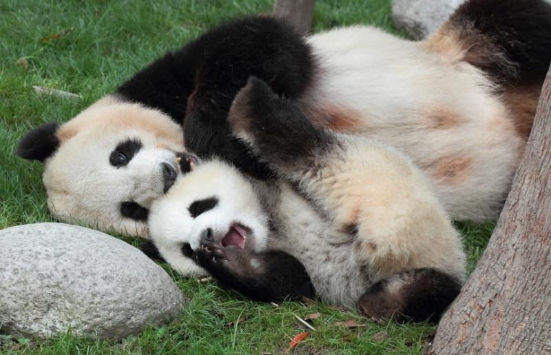 Panda 4.2 - ganz schön faul