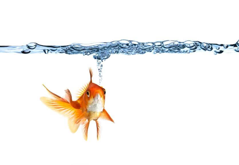Konzentrationsfähigkeit von Goldfischen höher als die der User