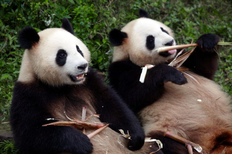 zwei pandas bekämpfen duplicate content