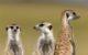 Erdmännchen halten Aussschau