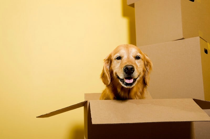 fröhlicher Golden Retriever sieht aus einem Karton hervor