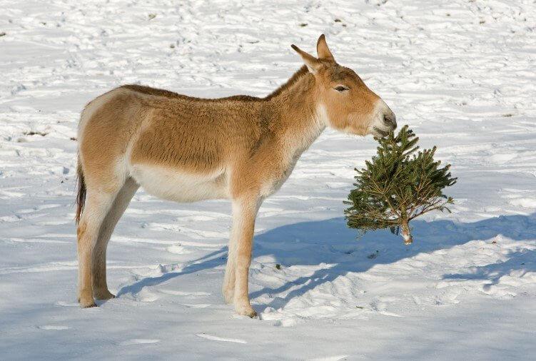Esel frisst Weihnachtsbaum