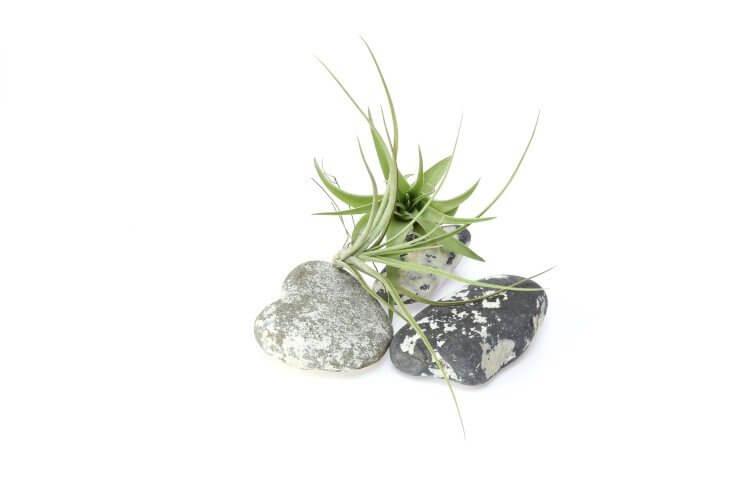 Luftpflanze mit Steinen