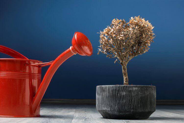Geißkanne und vertrocknete Pflanze