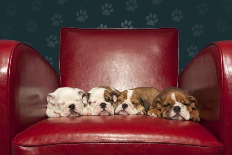 Schlafende Welpen auf rotem Sessel