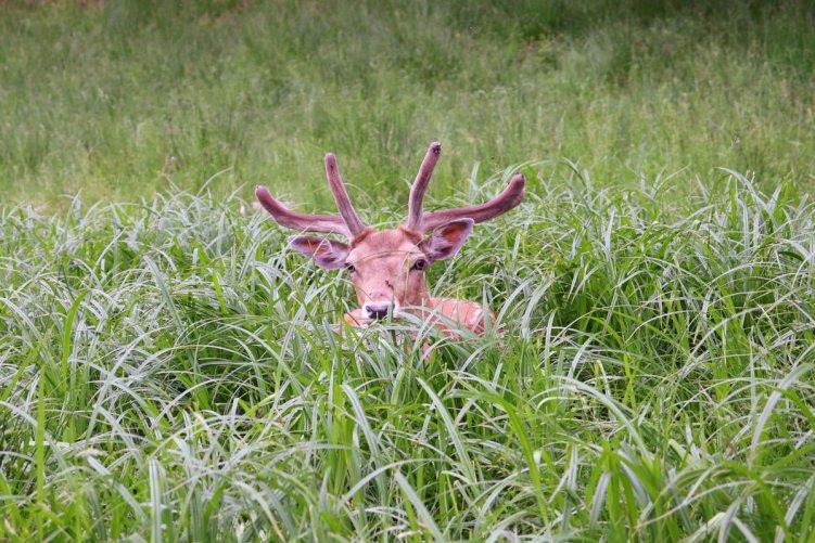 im-gras-versteckter-hirsch